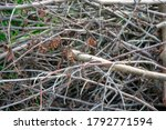 A Heap Of Cut Twigs And...