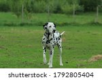 A two year old dalmation...