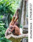 Two Baby Bornean Orangutans ...