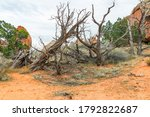 Group Of Dead Trees Along The...