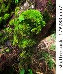Fern And Moss On Moss Tree.moss ...