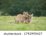 Two Tiger Babies Playing...