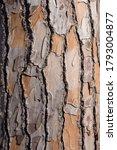 Pine Tree Texture. Peeled Off...