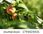 growing peach with green leaves ... | Shutterstock . vector #1793025031