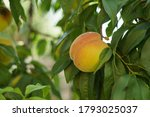 growing peach with green leaves ... | Shutterstock . vector #1793025037