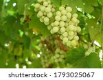 growing grapes with green... | Shutterstock . vector #1793025067