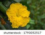 Yellow Flower Of Sponge Gourd ...