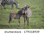 Zebra And Young In Ngorongoro...