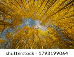 Aspen Trees In The Mountains Of ...