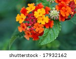 Colorful lantana blossoms.  Macro with shallow dof. - stock photo
