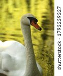 White Swan On Lake In Park.