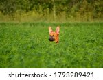 Puppy Walking In The Field.