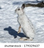 Stock photo white snowshoe hare standing in winter 179329637