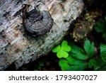 Small Wild Wood Mushroom On...