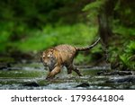 Tiger Running In The Water....