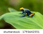 The Dyeing Dart Frog  Tinc  A...