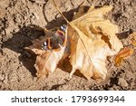 Red admiral butterfly resting on a brown leaf in autumn in a forest of Europe. Also called Vanessa Atalanta, it is a very common butterfly in temperate climates.