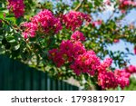Lagerstroemia Indica In Blossom....