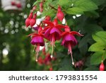 Beautiful Hummingbird Fuchsia...