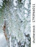 Hoarfrost In Spruce Tree...