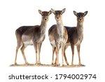Three Fallow Deer  Dama Dama ...