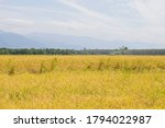 The Rice Fields  The Golden...