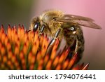 Honey Bee Pollinate Yellow...