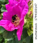 Bumblebee On A Prickly Rose In...