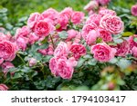 Rose Flower On Background...