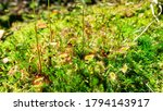 Bright green-red predatory plant Drosera rotundifolia among moss in the forest. Close up.