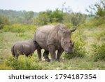 Baby Rhino Feeding Standing By...