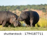 Two Hippo Grazing Standing Out...