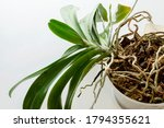 Old Orchid Plant With Very Long ...