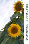 Summer Flowers Sunflowers Clos...