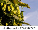 Hop Trees On Blue Sky In Sunny...