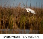 A Snowy Egret Coming In For A...