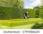 Gardener Clipping Box Hedge In...