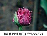 Tulip After The Rain. Purple...