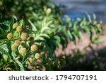 Closeup Of Common Buttonbush...