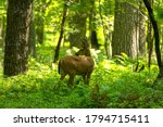 Young White Tailed Deer With...