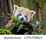 A Very Beautiful Red Panda Sits ...