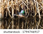 A Blue-winged Teal with beautiful wing feathers flies by at close range with some dry vegetation behind him reflecting in the water.