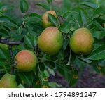 Pears On A Branch On A Green...