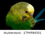 Parakeets Budgerigar Bird ...