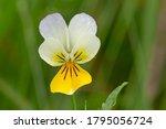 Wild Violet Viola Tricolor In...