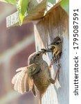 Wren Parent Bird Feeding Chicks ...
