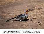 Yellow Billed Hornibills In...