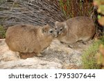 The Rock Hyrax  Also Called...