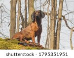 Bavarian Hound Observing His...