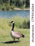A Canadian Goose Standing In A...